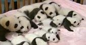 Baby Pandas BBC News